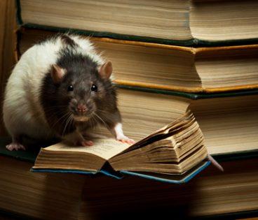szczur na książkach